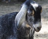 Goat In Barnyard Royalty Free Stock Photography