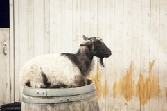 Goat on a barrel Royalty Free Stock Image