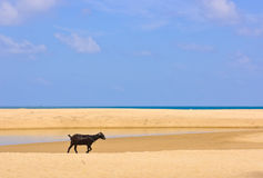 Goat on Beach Stock Image