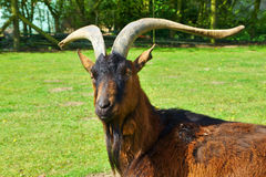He-Goat with beard. Billy-goat with beard and long horns royalty free stock image