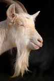 Goat beard Stock Photography