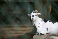 Goat behind chain link fence Royalty Free Stock Images
