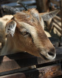Goat behind fence Royalty Free Stock Photos