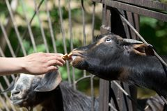 Goat behind a fence at the zoo Stock Photos