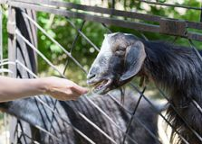 Goat behind a fence at the zoo.  Royalty Free Stock Images