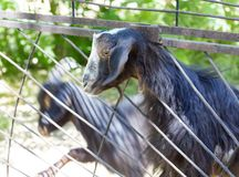 Goat behind a fence at the zoo.  Royalty Free Stock Image