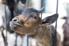 Goat behind a fence in zoo Royalty Free Stock Images