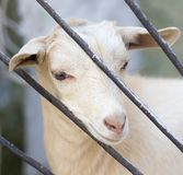 Goat behind a fence in zoo Stock Photo