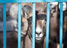 Goat behind a fence in zoo. In the park in nature Stock Photo