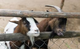 Goat behind a fence in zoo. In the park in nature Stock Photography