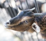 Goat behind a fence in zoo. In the park in nature Royalty Free Stock Images