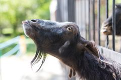 Goat behind a fence in zoo. In the park in nature Royalty Free Stock Photography