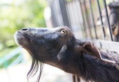Goat behind a fence in zoo. In the park in nature Royalty Free Stock Photos