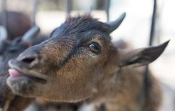 Goat behind a fence in zoo. In the park in nature Stock Photos