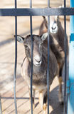 Goat behind the metal fence in the zoo Royalty Free Stock Photography