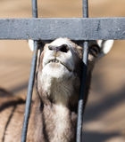 Goat behind the metal fence in the zoo Stock Photography