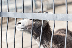 Goat behind the metal fence in the zoo Royalty Free Stock Image