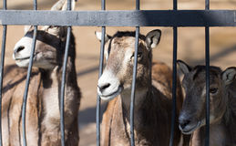 Goat behind the metal fence in the zoo Stock Image