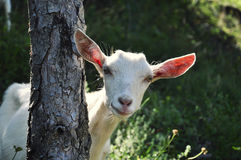 Goat behind the tree Stock Photo