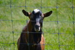 Goat behind a wire fence Royalty Free Stock Photos
