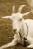 Goat bell stock image
