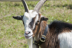 Goat with bell Royalty Free Stock Photos