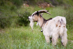 Goat with bell eating grass Royalty Free Stock Photo