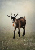 Goat with bell in  field Royalty Free Stock Photo