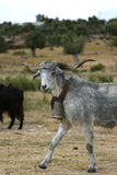 Goat with a bell. In a Greek village stock image