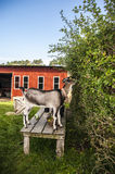 Goat on bench eating a hedge Stock Photography