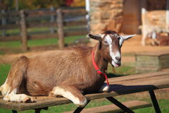 Female Goat Stock Photography