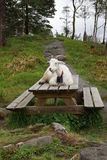 Goat in Bergen Stock Photography