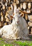 Goat with big horns Royalty Free Stock Photos