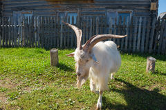 Goat with big horns Royalty Free Stock Image