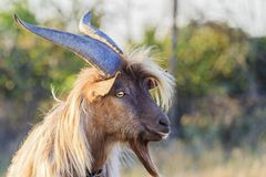 Goat with big horns and beard. Summer day royalty free stock images