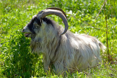 Goat with big horns Stock Image