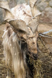 Goat with big horns helical Stock Image