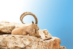 Goat. With big horns lying on a rock Stock Image
