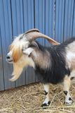 Goat with Long Hair and horns. Goat or Billygoat with Long Hair on his eyes and long horns over his head royalty free stock image