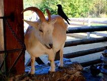 Goat with bird on back Stock Photo