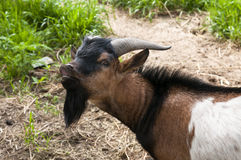 Goat with black beard Stock Photos