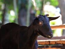 Goat black Stock Image