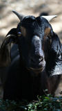 Goat. Black goat has black skin. Take photo in front of it.for close up and portrial Royalty Free Stock Photo