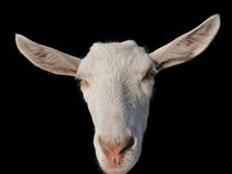 Goat on a black Stock Photos