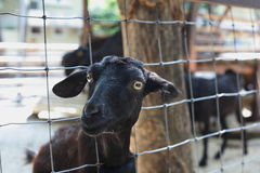 Goat. Black in  thailand  zoo Royalty Free Stock Photography