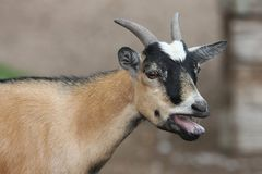 Goat Bleating Stock Photography