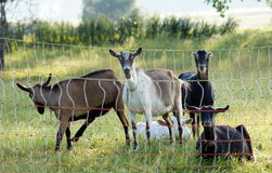 Goat bleats Royalty Free Stock Images