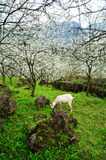 Goat and Blossoming garden Stock Photography