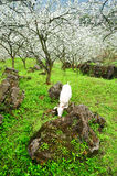 Goat and Blossoming garden Stock Photos