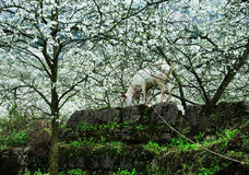 Goat and Blossoming garden Royalty Free Stock Photography